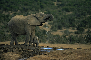 African elephant and tiny calf {Loxodonta africana} drinking at waterhole, South Africa