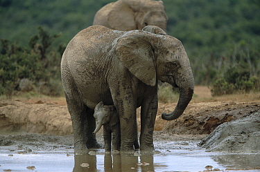 African elephant with young calf at waterhole {Loxodonta africana} South Africa