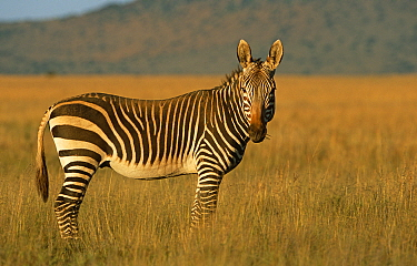 Cape mountain zebra {Equus zebra zebra} South Africa