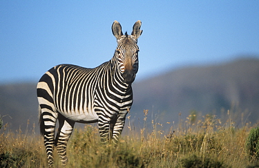 Cape mountain zebra {Equus zebra zebra} on savanna, South Africa