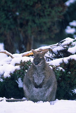 Bennett's / Red necked wallaby in snow {Macropus r rufogriseus} Tasmania, Australia