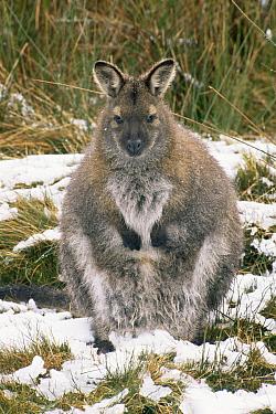 Bennett's / Red necked wallaby {Macropus rufogriseus} in snow, Tasmania, Australia.