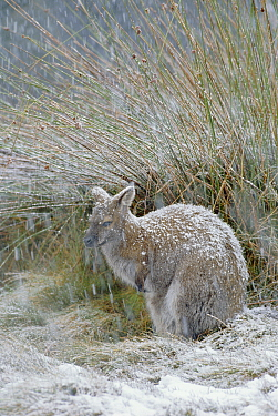 Red necked / Bennett's wallaby in snow {Macropus rufogriseus} Tasmania Australia