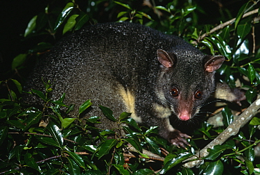 Mountain brush tailed possum {Trichosurus caninus} in tree, Queensland, Australia.