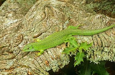Green lizard {Lacerta viridis}, Western Europe, captive