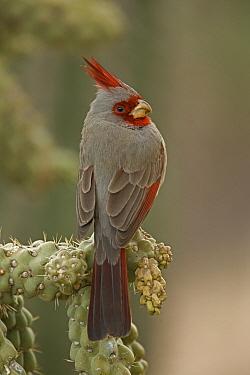 Male Pyrrhuloxia (Cardinalis sinuatus) perched on cholla cactus, Arizona, USA