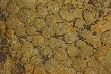 Fossilised Jellyfish (Nemiana simplex), Vendian Age (Ediacaran period), White Sea Formation, Mogilov, Ukraine