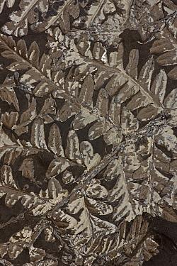 Fossilised Fern (Neuropteris sp.), Upper Carboniferous, Piesberg, Osnabruck, Germany
