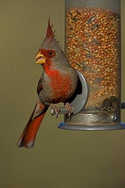 Male Pyrrhuloxia (Cardinalis sinuatus) on bird feeder, Arizona, USA