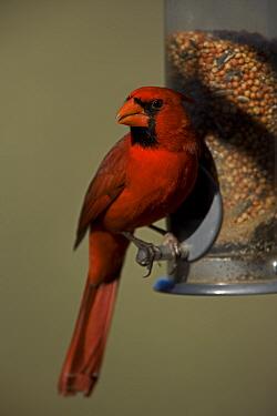 Male Northern Cardinal (cardinalis cardinalis) perched on bird feeder, Arizona, USA
