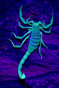 Desert /Giant Hairy Scorpion (Hadrurus arizonensis) viewed under ultra violet light, Arizona, USA, captive