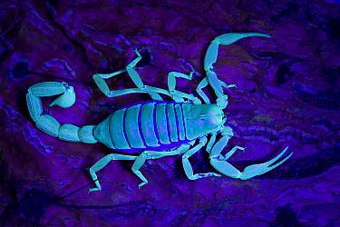 Desert / Giant Hairy Scorpion (Hadrurus arizonensis) viewed under ultra violet light, Arizona, USA, captive