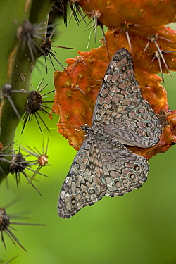 Grey cracker butterfly (Hamadryas februa) on Hecho Cactus (Pachycereus pectinaboriginum) Sonora, Mexico