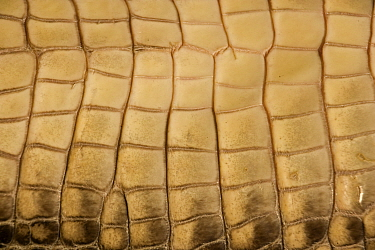 Close up of skin on underside of American Alligator (Alligator mississippiensis) Louisiana, USA