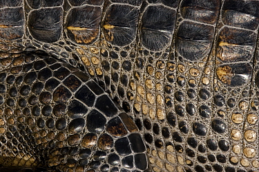 Close up of skin of American Alligator (Alligator mississippiensis) Louisiana, USA