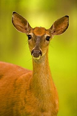 White-tailed deer (Odocoileus virginianus) female, portrait, New York, USA