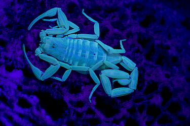 Bark Scorpion (Centruroides exilicauda) photographed under UV light, Arizona, USA, captive