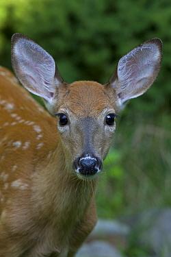 White-tailed deer (Odocoileus virginianus) fawn, portraitNew York, USA