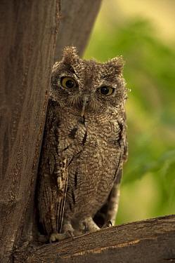 Western screech-owl (Megascops kennicottii) Arizona, USA