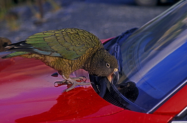 Kea (Nestor notabilis) trying to remove rubber trim from car windscreen, South Island, New Zealand