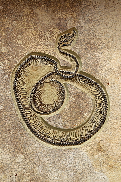 Fossil Snake Caste, Eocene, 50 million years, Green River Formation, Wyoming, USA, Specimen courtesy Geo Decor
