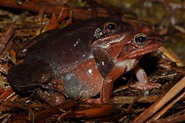 Wood Frog (Rana sylvatica / Lithobates sylvaticus) pair in amplexus, mating, NY, USA