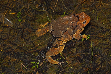 American Toad (Bufo americanus) pair in amplexus, mating, female laying eggs, NY, USA