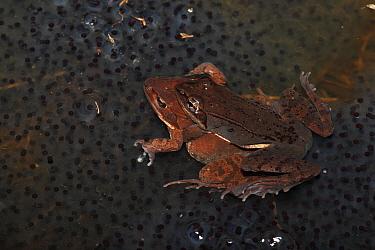 Wood Frog (Rana sylvatica / Lithobates sylvaticus) pair in amplexus on communal egg mass, NY, USA