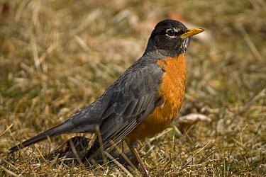 American robin (Turdus migratorius) portrait, New York, USA
