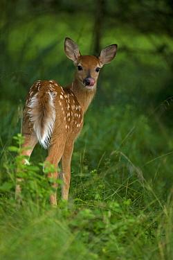 White-tailed deer (Odocoileus virginianus) fawn licking its nose, Spring, New York, USA