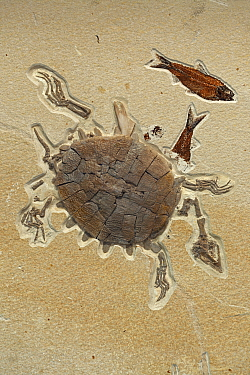 Fossilised Softshell turtle, from the Eocene period, Specimen Courtesy Geo Decor, Green River Formation, Wyoming, USA