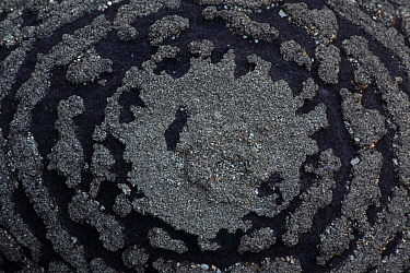 Pyrite on Shale Concretion, Yunnan, China