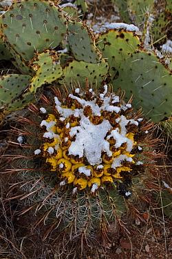 Fishhook / Arizona barrel cactus (Ferocactus wislizenii) with fruit in snow after desert snow storm with Prickly pear cactus (Opuntia sp) in background, Sonoran Desert, Arizona, USA