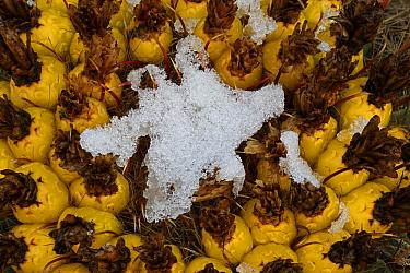 Arizona / Fishhook barrel cactus (Ferocactus wislizenii) with fruit in snow after desert snow storm, Sonoran Desert, Arizona, USA