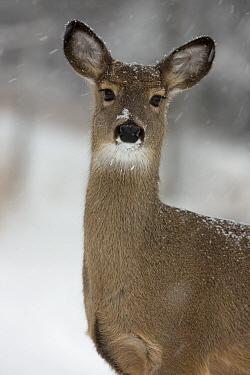 White tailed deer (Odocoileus virginianus) portrait, in snow, New York, USA