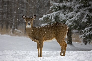 White tailed deer (Odocoileus virginianus) doe in snow, New York, USA