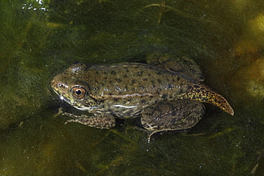 Green frog (Rana clamitans) nearly fully metamorphosed showing remnants of tadpole tail, New York, USA, captive