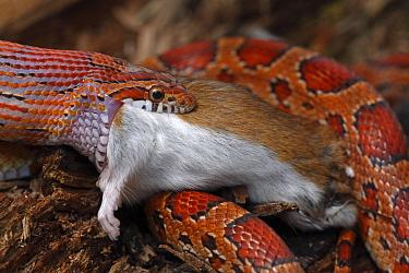 Corn snake (Pantherophis guttatus / Elaphe guttata) feeding on a mouse, captive