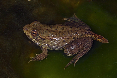 Green frog (Rana clamitans) nearly metamorphosed frog showing remnants of tadpole tail, New York, USA, captive