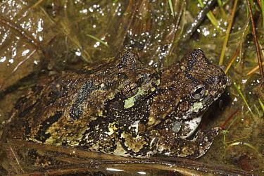 Grey tree frog (Hyla versicolor) pair in amplexus, New York, USA