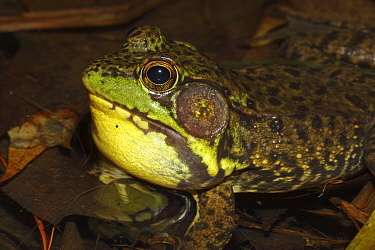 Green frog (Rana clamitans) male calling to attract mate, New York, USA