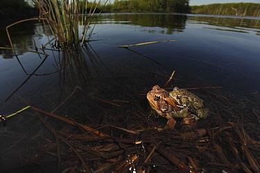American toad (Bufo americanus) pair in amplexus laying eggs, New York, USA