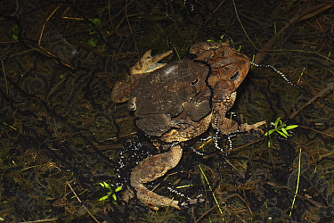 American toad (Bufo americanus) pair in amplexus, laying eggs, New York, USA