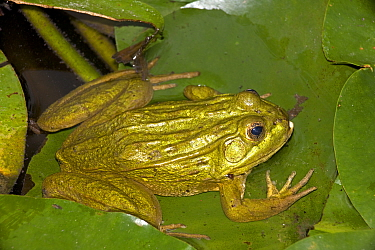 Chiricahua / Ramsay Canyon Leopard Frog (Rana chiricahuensis / subaquavocalis) sitting on lily pad, Arizona, USA, IUCN vulnerable species