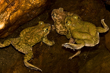 Couch's Spadefoot (Scaphiopus couchii) two males competing to mate with one female, USA