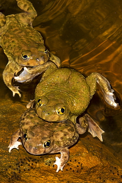 Couch's Spadefoot (Scaphiopus couchii) several males competing to mate with one female, USA
