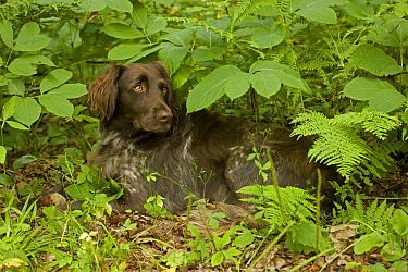 Small Munsterlander lying amongst vegetation, Wisconsin, USA