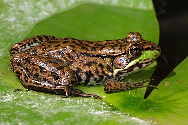 Green Frog (Rana clamitans) on green leaves, New York, USA