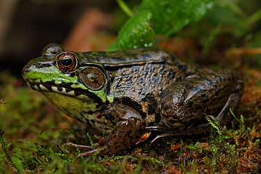 Male Green Frog (Rana clamitans) sheltering in mossy folliage, New York, USA