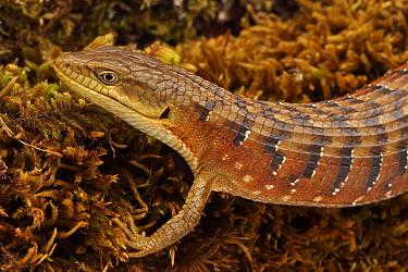 Portrait of Southern Alligator Lizard (Elgaria multicarinata) Oregon, USA, captive